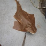 Ocean City shark ray caught on the Judith M charter boat